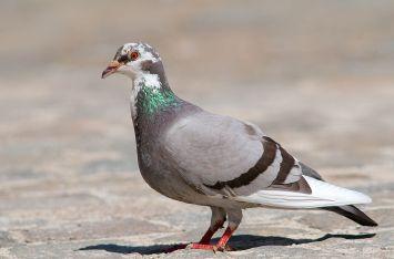 Karmy dla gołębi
